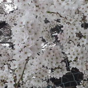 春ですね~~♪