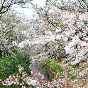 小杉の桜。
